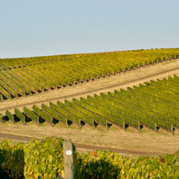 Big Vineyard | Corliss Estates | Sustaining Excellence