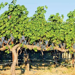 1st Row, 4th Photo – Grape Vines | Corliss Estates | Healthy Sense Of Place